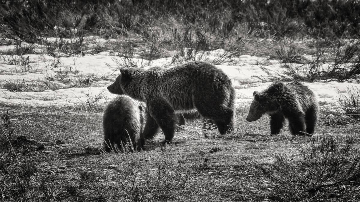 Sixten Familly Bear